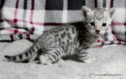 Bengal Kittens for sale in Wiltshire  from Bex