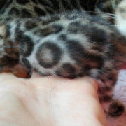 Bengal Kittens for sale in West Midlands from Bluelagoon