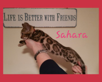 Bengal Kittens for sale in Leicestershire from JCJC