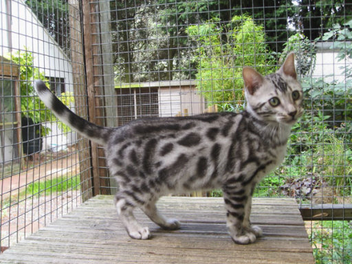 male bengals for sale