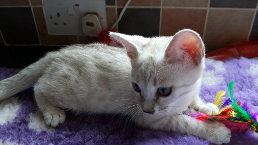 Bengal cat breeders lancashire