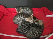 Bengal Kittens for sale in Tyne and Wear from Majesticgems