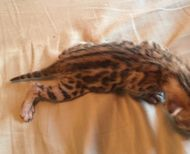 Bengal Kittens for sale in Lincolnshire from Manimar