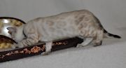Bengal Kittens for sale in Surrey