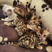 Bengal Kittens for sale in West Sussex from Sully
