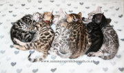 Bengal Kittens for sale in Kent