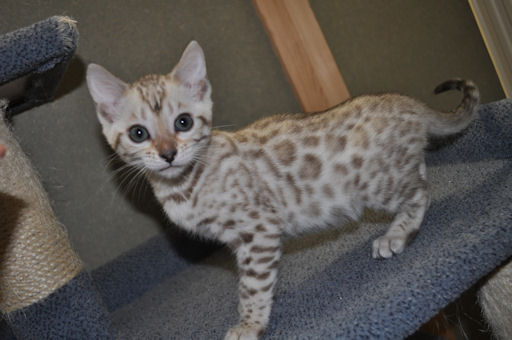 Bengal Cats For Sale Oxfordshire