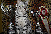 Bengal Kittens for sale in Hertfordshire
