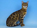 Bengal Kittens for sale in South Oxfordshire