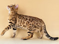 Bengal Kittens for sale in Shropshire